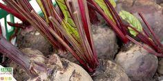 Découvrez 7 conseils pratiques pour la culture de la betterave. Vous apprendrez ainsi comment la semer, avec quelles plantes l'associer , quand la récolter...