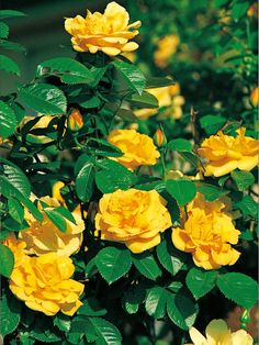 Climber Roses Bloom from Summer Through Fall