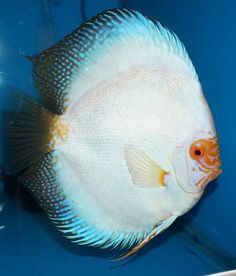 Super White Butterfly Discus