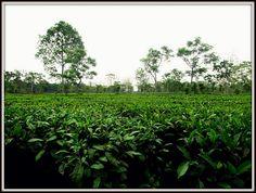 Tea garden, Assam
