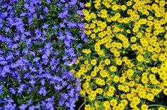 #blue #colours #flora #flowers #nature #plant #yellow