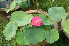 2014 – 28th National Lotus Exhibition by China Flower Association ...