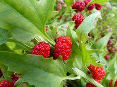 CHENOPODIUM capitatum -  Strawberry Sticks - Zmeura spanac