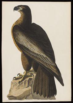 Print depicting Bird of Washington, or Great American Eagle, Plate No. 11 of Birds of America, by John James Audubon, London, England.