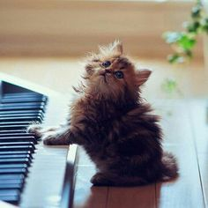 Piano playing cat or kitten