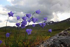 Wild bluebells grow everywhere on and around the mountain Fongen in the Skarvene and Roltdal national park, in Mid-Norway. blåklokker overalt ved Ramsjøhytta og Fongen, Tydal.