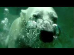 "2 minutes - I don't know about your kids, but mine love watching this video we shot of a Polar Bear swimming at Kansas City Zoo (April IN THE NEWS: ""Polar bear 'c. Artic Animals, Wild Animals, Baby Animals, Arctic Habitat, Kansas City Zoo, Penguins And Polar Bears, Winter Art Projects, Bear Theme, Animal Habitats"