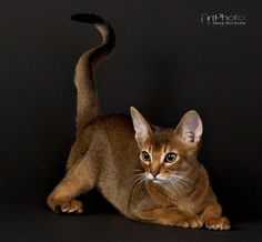 Filifjonkan, Abyssinian cat from S*Skimmerdal's in Umeå Pretty Cats, Beautiful Cats, Cute Cats And Dogs, Cats And Kittens, Abyssinian Kittens, Snowshoe Cat, Image Chat, Cat Reference, Cat Pose