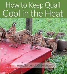 How to Keep Quail Cool in the Heat. How to Keep Quail Cool in the Raising Quail, Raising Chickens, Backyard Poultry, Chickens Backyard, Permaculture, Quail Coop, Quail Pen, Guinea Fowl, Mini Farm