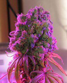 purple haze.
