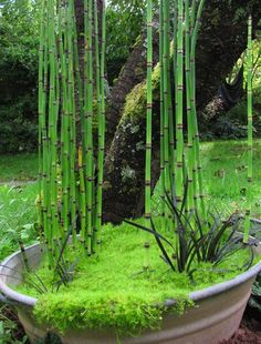 jardin de bertille asso-ophiopogon-12-sept-11.jpg