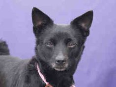 Petfinder Adoptable Dog | Schipperke/Chihuahua Mix | Downey, CA | MAGPIE