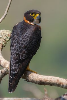 Orange-breasted Falcon by Yeray Seminario, via lightasfeathers.net