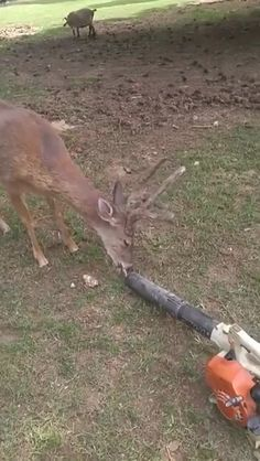 Deer enjoying a little breeze - Funny Animals Cute Wild Animals, Cute Little Animals, Cute Funny Animals, Animals And Pets, Cute Creatures, Beautiful Creatures, Animals Beautiful, Cute Animal Videos, Funny Animal Pictures