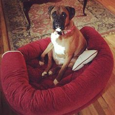 Rona #boxer #dog #puppy
