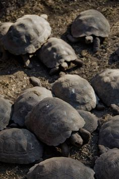 Many factors are threatening the survival of the Galapagos Giant Tortoise. Learn more about giant tortoise conservation work in the Galapagos Islands. Tortoise Cage, Baby Tortoise, Sulcata Tortoise, Giant Tortoise, Amphibians, Mammals, Young Animal, Galapagos Islands, Tortoises