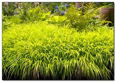 Best ornamental grasses for containers and how to grow for Japanese mounding grass