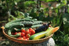 家庭菜園から収穫した無農薬の夏野菜 写真素材