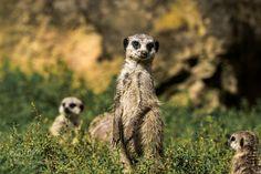 Erdmännchen by DirkMirtschin #animals #animal #pet #pets #animales #animallovers #photooftheday #amazing #picoftheday