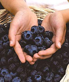 Blueberry, Chandler Fruit Plants at Burpee.com.  Largest blueberries