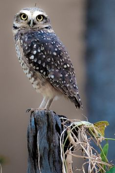 Awesome Owl