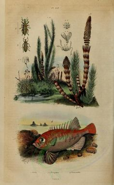 Longfinned Bullseye - high resolution image from old book.Size in pixels: Vintage Illustration Art, Engraving Printing, Old Book Pages, Art Clipart, Flora And Fauna, Picture Collection, Scrapbook Paper Crafts, Hand Coloring, Wall Collage