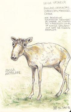 Saiga antelope at Übersee Museum, Bremen