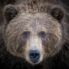 Photograph Coastal Brown Bear A by RobsWildlife.com  - Rob Daugherty on 500px