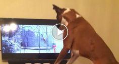 Boxer Não Consegue Parar De Saltar Ao Ver Outro Cão Na Tv a Pular Num Trampolim