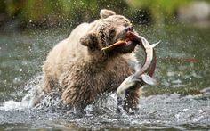Медведь Гризли на рыбалке