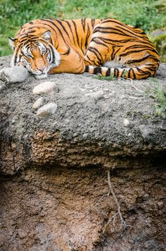 magicalnaturetour:   Master of his Domain by William Doran    Via Flickr: Tiger from the Point Defiance Zoo
