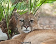 Keeper Kathryn got this cute photo of Aspen Cougar.  Big Cat Updates have posted:  https://bigcatrescue.org/feb-23-2017/