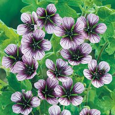 Geranium Salome : Ground cover spreading variety. Flowers May to October. Height 30cm, spread up to 80cm. Supplied as first grade loose root plants.