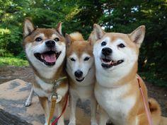 柴犬親子3ワンをくっつかせる! Three lovely Shiba