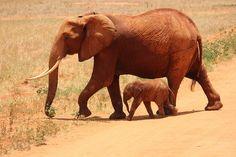 Éléphant, Cub, Tsavo, Kenya, Savane