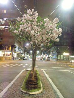 Cerejeira no canteiro central da avenida.