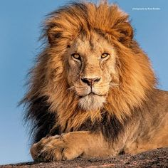Stock Photos and Pictures Scary Animals, Majestic Animals, Cute Animals, Lion And Lioness, Lion Of Judah, Beautiful Cats, Animals Beautiful, Tiger Artwork, Lion Photography