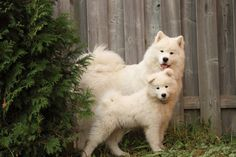 How many likes for them? ? #cute #Samoyed #dogs