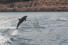 Jumping dolphin in La Paz, Baja California Sur, Mexico.