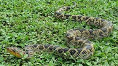 La boa Cropan (Corallus cropanii) es un reptil que reside en el Bosque Atlántico, en el sur de Brasil. Aparte de su aspecto, los científicos prácticamente desconocen esta serpiente, ya que rara vezha sido vista en naturaleza por un investigador. Después de 60 años, ha vuelto a ser vista. (2017)