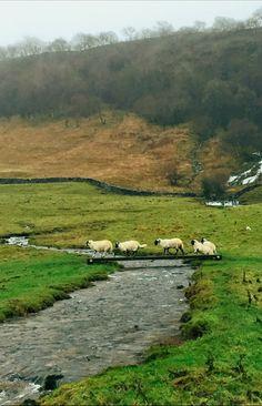 Swaledale Sheep, Hill Top Farm, Malham, Yorkshire Dales, England