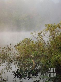 Great Blue Heron Waits for Breakfast near the Appalachian Trail, Lake Hebron, Maine Photographic Print by Sam Abell at Art.com  (Hebron, ME home of Keene family)