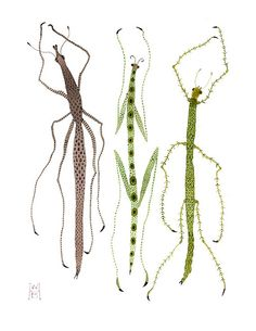 Walking Sticks A trio of stick bug specimens. Insect Tattoo, Bug Art, Insect Art, Pattern Illustration, Character Illustration, Bugs And Insects, Love Bugs, Walking Sticks, Watercolor Paintings