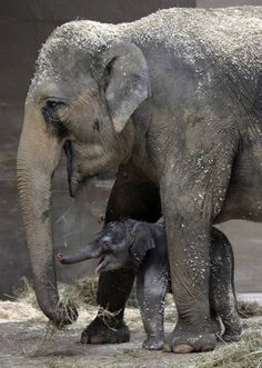 Mama's boy Phoebe and her unnamed baby boy elephant play together in their enclosure at the Columbus Zoo and Aquarium in Ohio. Photo by Tom Dodge/AP :)