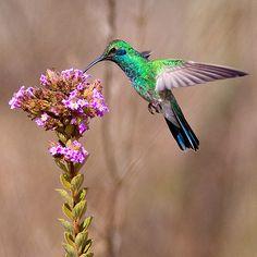 Foto beija-flor-de-orelha-violeta (Colibri serrirostris) por Almir Almeida | Wiki Aves - A Enciclopédia das Aves do Brasil