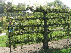 horizontal Espalier pear tree