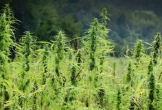 15-mind-blowing-ways-hemp-can-save-the-world-fb