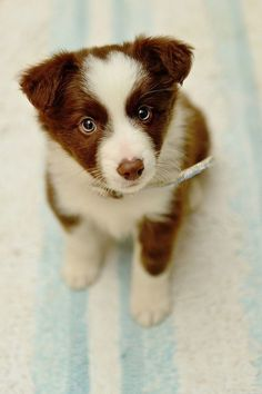 Brown and white border collie puppy with blue eyes. Probably about 2 or 3 months old.