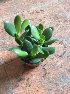 Traditional Jade Plant (crassula argentea): Your plant is a jade plant, Crassula argentea, a popular succulent. Grows well indoors in bright indirect light or outdoors in full sun, but does not tolerate freezing temperatures. Water when the soil feels dry down to the first knuckle. Do not over-water. Also make sure the container has drainage holes. Do not allow plant to sit in water as this may lead to root rot. Common names can be confusing, entertaining, and interesting! Also known as…