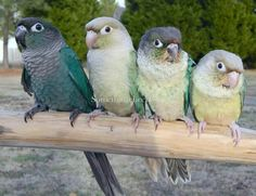 Turquoise, Cinnamon Turquoise, Yellow-sided Turquoise and Pineapple Turquoise Green Cheek Conure (Something Cheeky)